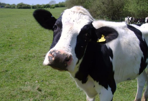 cow pick up lines