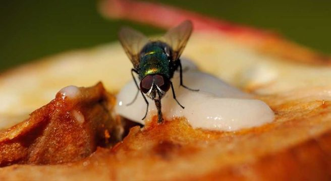 Image result for flies on food